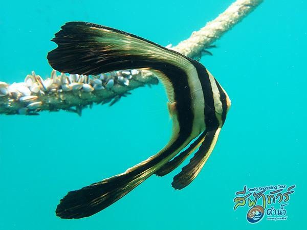 ปลาค้างคาว