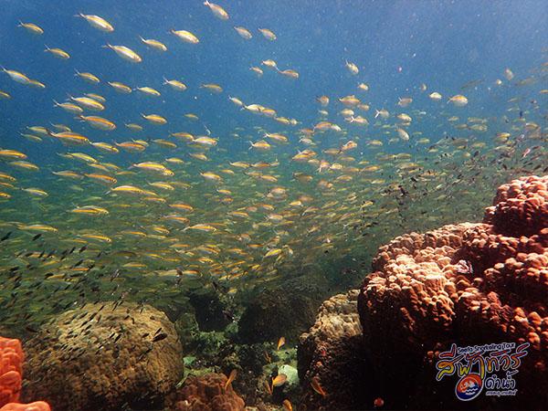 ปลาสุกุนข้างเหลือง