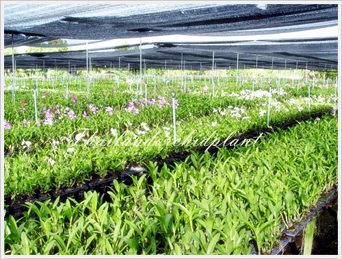 Our Orchid Nursery 3