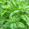 น้ำมันหอมระเหยบริสุทธิ์: โหระพา Basil Sweet (Ocimum basilicum ct. linalool - Thailand)