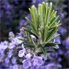 น้ำมันหอมระเหยออแกนิกส์: โรสแมรี่ Rosemary (Rosmarinus officinalis ct. cineole)