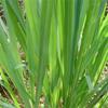 น้ำมันหอมระเหยออแกนิกส์: เลมอนกราส Lemongrass (Cymbopogon Citratus)