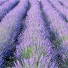น้ำมันหอมระเหยออแกนิกส์: ลาเวนเดอร์ Lavender Maillette (Lavandula officinalis var Maillette)