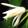 น้ำมันหอมระเหยบริสุทธิ์: ดอกจำปี Champaca White (Michelia alba D.C. - China)