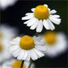 น้ำมันหอมระเหยบริสุทธิ์: บลูคาโมมายล์ (เยอรมันคาโมไมล์) Chamomile German (Matricaria recutita - England)