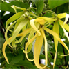 น้ำมันหอมระเหยบริสุทธิ์: กระดังงา Cananga (Cananga odorata macrophylla - Indonesia)