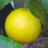 น้ำมันหอมระเหยบริสุทธิ์: เบอร์กามอท Bergamot (Citrus bergamia - Italy)