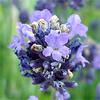 น้ำมันหอมระเหยบริสุทธิ์: ลาเวนเดอร์ Lavender Spike (Lavandula latifolia - France)