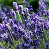 น้ำมันหอมระเหยบริสุทธิ์: ลาเวนเดอร์ Lavender (Lavandula angustifolia - France)