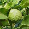 น้ำมันหอมระเหยบริสุทธิ์: มะกรูดไทย Kaffir Lime Peel (Citrus hystrix DC. - Thailand)