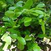 น้ำมันหอมระเหยบริสุทธิ์: ใบมะกรูด Kaffir Lime Leaf (Citrus hystrix DC. - Indonesia)