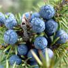 น้ำมันหอมระเหยบริสุทธิ์: จูนิเพอร์ เบอร์รี่ Juniper Berry (Juniperus communis - Bulgaria)