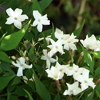 น้ำมันหอมระเหยบริสุทธิ์: ดอกมะลิแห่งลุ่มแม่น้ำไนล์ Jasmine Egypt (Jasminum officinale - Egypt)