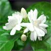 น้ำมันหอมระเหยบริสุทธิ์: ดอกมะลิ Jasmine (Jasminum sambac - Thailand)