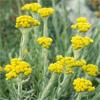 น้ำมันหอมระเหยบริสุทธิ์: อิมมอคแทล Immortelle Croatia (Helichrysum italicum - Croatia)