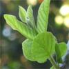 น้ำมันหอมระเหยบริสุทธิ์: ฝรั่ง Guava Leaf (Psidium guajava - Thailand)