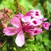 น้ำมันหอมระเหยบริสุทธิ์: เจอร์เรเนี่ยมโรส Geranium Rose (Pelargonium roseum - France)