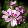น้ำมันหอมระเหยบริสุทธิ์: เจอร์เรเนี่ยม Geranium Egypt (Pelargonium graveolens - Egypt)