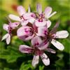 น้ำมันหอมระเหยบริสุทธิ์: เจอร์เรเนี่ยมบอร์บอน Geranium Bourbon (Pelargonium graveolens - France)