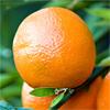 น้ำมันหอมระเหยบริสุทธิ์: ส้มแมนดาริน Mandarin Red (Citrus reticulata - Italy)