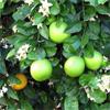 น้ำมันหอมระเหยบริสุทธิ์: ส้มแมนดาริน Mandarin Green (Citrus reticulata - Brazil)