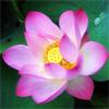 น้ำมันหอมระเหยบริสุทธิ์: บัวสีชมพู Lotus Pink (Nelumbo nucifera - India)