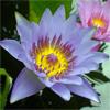 น้ำมันหอมระเหยบริสุทธิ์: บัวสีน้ำเงิน Lotus Blue (Nymphaea caerulea - Thailand)