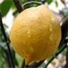 น้ำมันหอมระเหยบริสุทธิ์: เลมอน Lemon (Citrus limon - Italy)