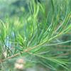 น้ำมันหอมระเหยบริสุทธิ์: ที ทรี Tea Tree (Melaleuca alternifolia - Australia)