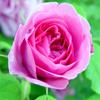 น้ำมันหอมระเหยบริสุทธิ์: โรสออตโต Rose Otto (Rosa damascena - Bulgaria)