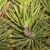 น้ำมันหอมระเหยบริสุทธิ์: ต้นไพน์ Pine Needle (Pinus sylvestris - Bulgaria)