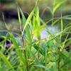 น้ำมันหอมระเหยบริสุทธิ์: พาลมาโรซา Palmarosa (Cymbopogon martini - Nepal)