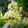 น้ำมันหอมระเหยบริสุทธิ์: ออสแมนทัส Osmanthus Abs. (Osmanthus fragrans - China)