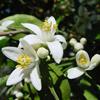 น้ำมันหอมระเหยบริสุทธิ์: เนโรลี่ Neroli (Citrus aurantium - Egypt)