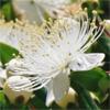 น้ำมันหอมระเหยบริสุทธิ์: เมอร์เทิล Myrtle (Myrtus communis - Morocco)
