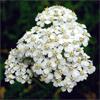 น้ำมันหอมระเหยบริสุทธิ์: เยรโรว์ Yarrow (Achillea millefolium - Bulgaria)