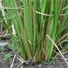น้ำมันหอมระเหยบริสุทธิ์: เวติเวอร์ Vetiver (Vetiveria zizanoides - Indonesia)