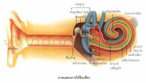 การนวดกดจุดเพื่อการบำบัด (Acupressure) เป็นเทคนิคการแพทย์ทางเลือกที่พัฒนามาจากการฝังเข็มของคนจีน โดยสามารถบำบัดผู้มีอาการหูตึง โดยการนวดกดจุดในตำแหน่งเส้นลมปราณ ที่ใช้ฝังเข็มเพื่อบำบัดอาการหูตึงและหูอื้อ กรมพัฒนาการแพทย์แผนไทยและการแพทย์ทางเลือก โดยสำนักการแพทย์ทางเลือก ได้ตระหนักถึงปัญหาดังกล่าว จึงได้ศึกษาและพัฒนาองค์ความรู้การนวดกดจุดเพื่อบำบัดอาการหูตึงและหูอื้อ อันเป็นภูมิปัญญาที่มีความประหยัด ปลอดภัย ไม่ซับซ้อน แต่เทคนิคการเยียวยายังไม่เป็นที่ยอมรับอย่างแพร่หลาย ให้เป็นทางเลือกในการดูแลผู้ป่วยที่มีภาวะหูตึงและหูอื้อ ให้มีคุณภาพชีวิตที่ดีขึ้นต่อไป   บทความสาระน่ารู้:-  การพัฒนาองค์ความรู้บรรเทาโรคหูตึงด้วยศาสตร์การกดจุด (Acupressure) ที่มาบทความ:  มนทิพา ทรงพานิช สำนักการแพทย์ทางเลือก