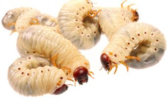 บทความสาระน่ารู้:-หนอนแมลงวันบำบัด (Maggot Therapy)